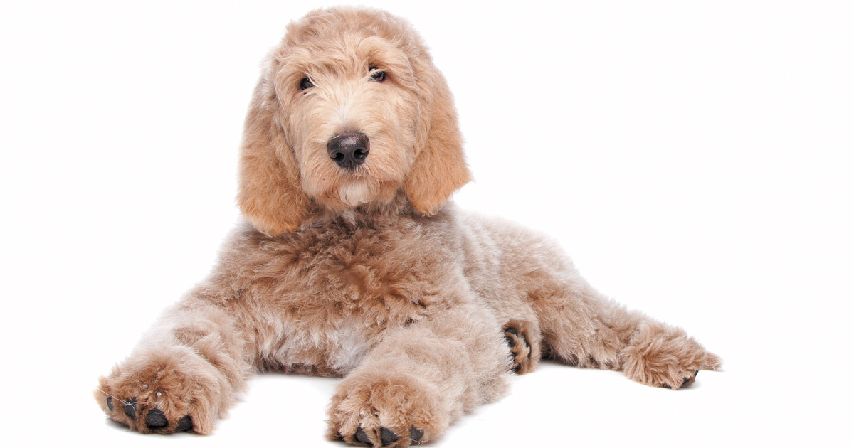 Allergy-friendly Dogs